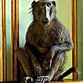 <b>William</b> Curtis Rolf, Deyrolle Monkey Relaxing On his Chest Of Drawers