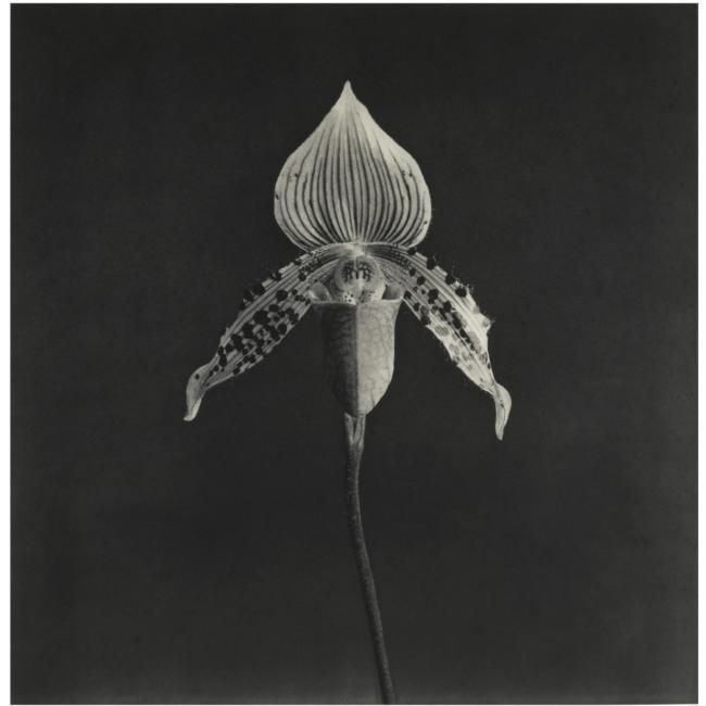 Robert Mapplethorpe - Orchid, 1987