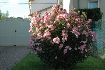 Rush buisson bamboudo - Comment tailler un rosier buisson ...