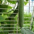 2 JUILLET - des concombres tout l'été