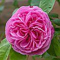 La rose Gertrude Jekyll
