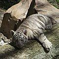 Le Tigre b