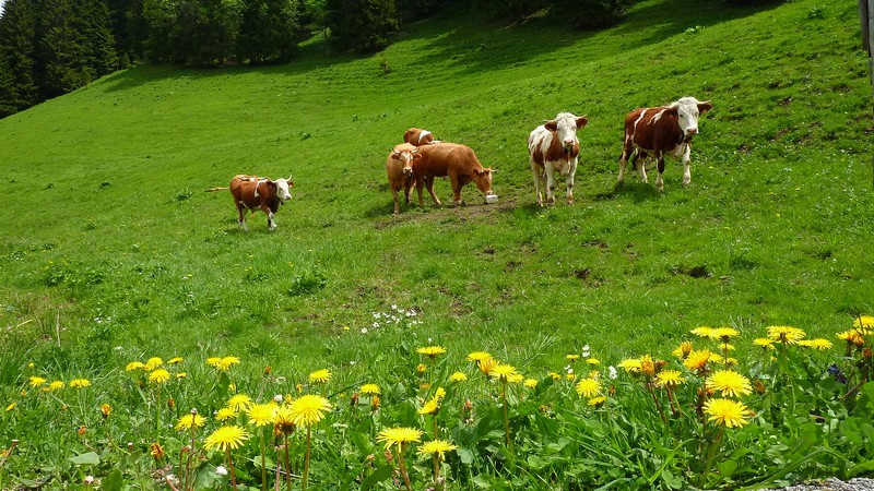 Vaches_6_30-2