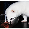 Alimentation : Alimentation du <b>furet</b>