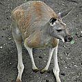 Le Kangourou <b>roux</b>
