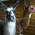 Les Lamas du Pont Belge