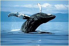 whales_home_humpback_01