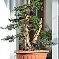 Taxus baccata #<b>23</b> Evolution