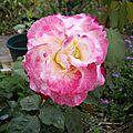 Les rosiers et leur parfum