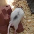 ratcompagnie