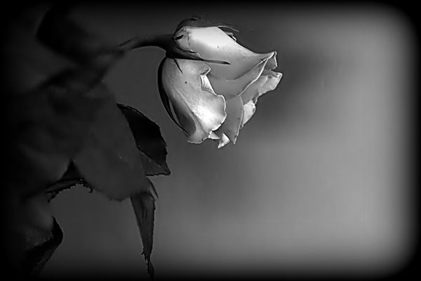 _rose blanche