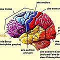 La <b>mémoire</b> du cerveau: lobe préfrontal , Hippocampe etc