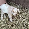 les lamas de la Richette Jeanmenil