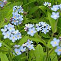 Myosotis