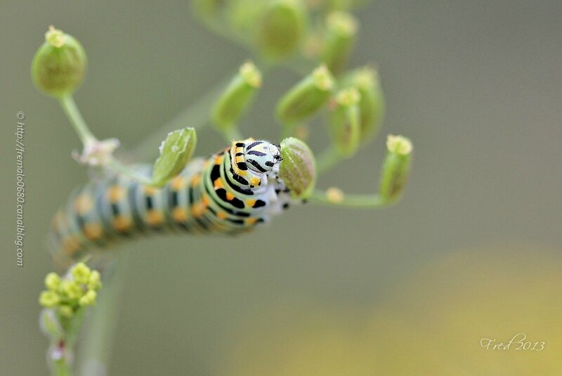 Papilio machaon - stade 5