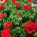 GERANIUM CALLIOPE EN POT DE 2L - FORT DEVELOPPEMENT