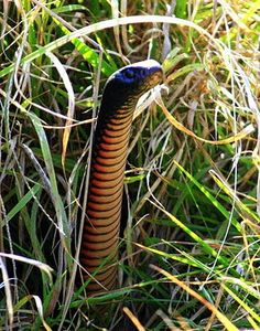 Red-bellied_Black_Snake