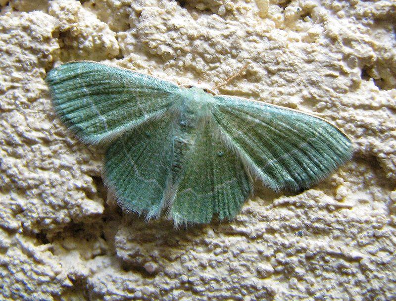 Phaiogramma etruscaria papillon de nuit couleur bleu lagon le monde des insectes - Signification papillon de nuit ...
