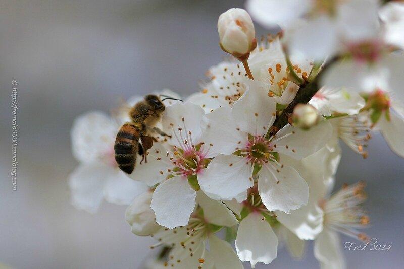 Apis mellifera sur fleurs de mirabellier
