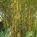 34- Bambusa vulgaris 'Striata' - Les espèces introduites en <b>Nouvelle</b>-<b>Calédonie</b>