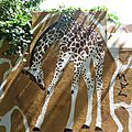 Le mur en peau de girafe : Montreuil (Seine Saint-Denis), le 7 juin 2015 (2)