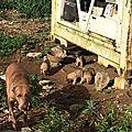 Chienne et 8 bébés sous un container ... Atania et Honey, Ted, Kawaï ou Wakaï, Cerise, Darius, Armelle, Nimbus, Ninja