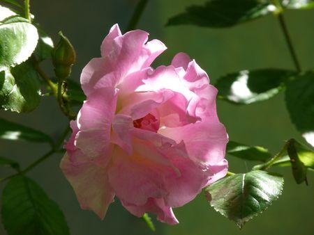 banks_rose
