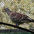 Le pigeon roussard