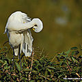Grande aigrette - Photos