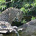 Léopard de Perse * Persian leopard