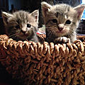 Adorables chatons de type Maine coons à adopter