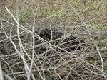 Chanel (Labrador noir) 52145862_p
