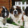 La passion des chiens du Saint Bernard