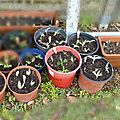 Potager en <b>permaculture</b> : nouvelles plantations et encore des boutures
