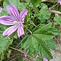 Malva <b>sylvestris</b> 