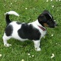 Le Jack Russel: Clyde
