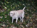 Noémie (Type Labrador sable) 32991149_p