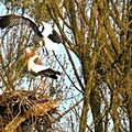 Cigogne blanche en Lorraine 2015 :-) ( 1)
