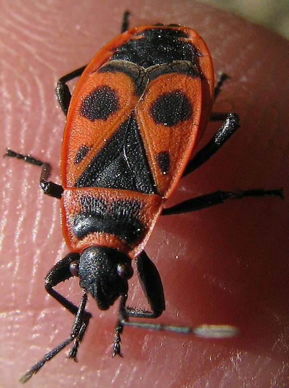 pyrrhocoris apterus en rouge et noir le monde des insectes. Black Bedroom Furniture Sets. Home Design Ideas