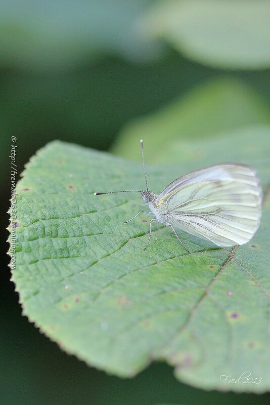 Pieris sp