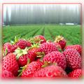 Recettes de Fraises gratuites sur votre Iphone /A Free iphone <b>Strawberry</b> Recipe App