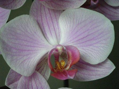 orchidée - 14 juin 2013(1)