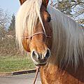 Aout 2014- Calendrier des <b>concours</b> d'élevage et d'utilisation de chevaux de trait en Rhône Alpes