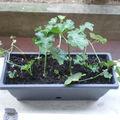 Expèrience sur l'évolution de boutures, rejets et autres mode de multiplication des plantes