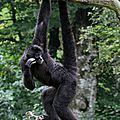 PRIMATES - ATELE ou Singe- <b>Araignee</b> Noir - Ateles Fusciceps Robustus