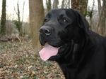 Chanel (Labrador noir) 35636873_p