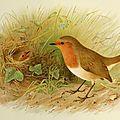 Le <b>Rouge</b>-<b>gorge</b>, un oiseau bagarreur et querelleur