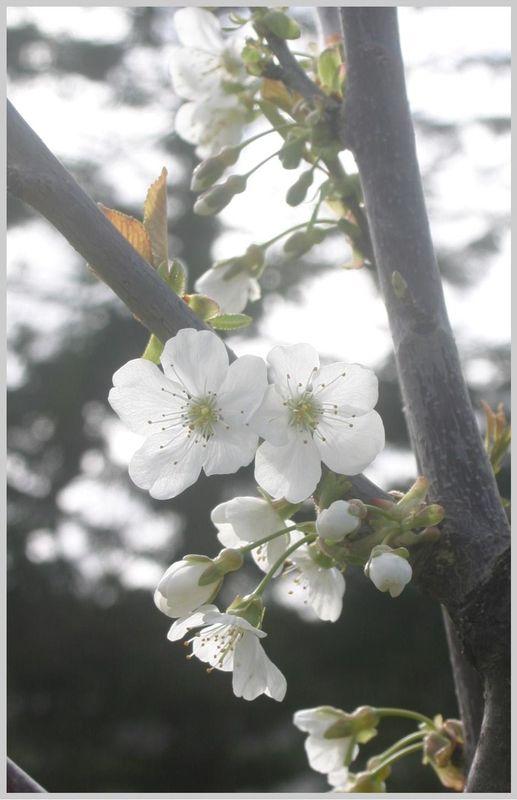 sous_mon_Cerisier_en_fleur