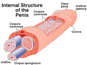 penis_structure