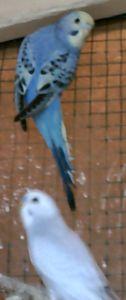 et voici les photos de mes oiseaux : 40549258_p